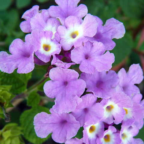 Lantana Purple- Flowering Shrubs