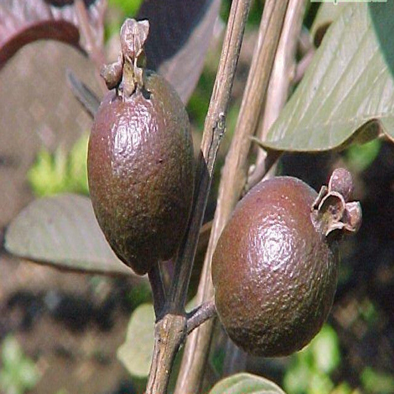 Guava Black - Fruit Plants & Tree
