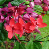 Bleeding Heart Vine Red- Creepers & Climbers - Exotic Flora