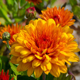 Chrysanthemum Orange - SEASONALS - Exotic Flora
