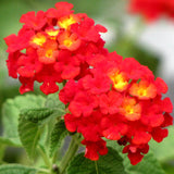 Lantana Red- Flowering Shrubs