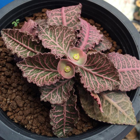 Euphorbia Francoisii Dark Red -Succulents