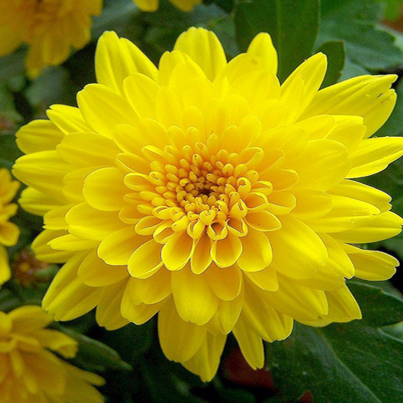 Chrysanthemum Yellow - Indoor Air-Purifying
