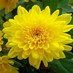 Chrysanthemum Yellow - Indoor Air-Purifying - Exotic Flora