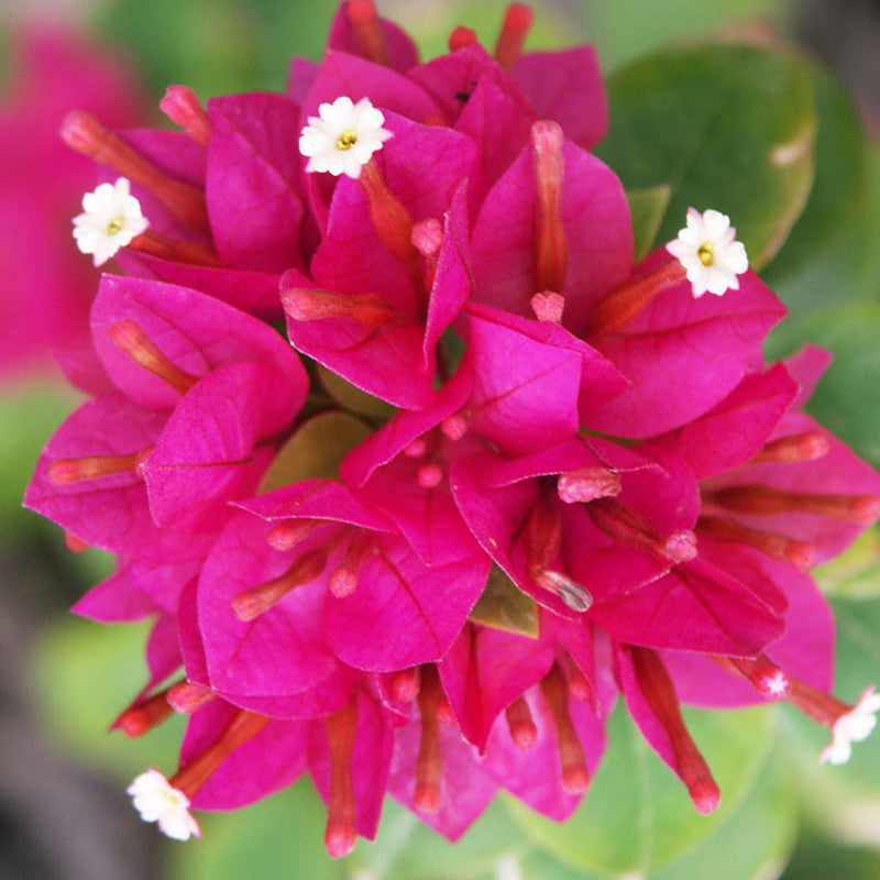 bougainvillea dwarf  flowering shrubs  exoticflora, Natural flower