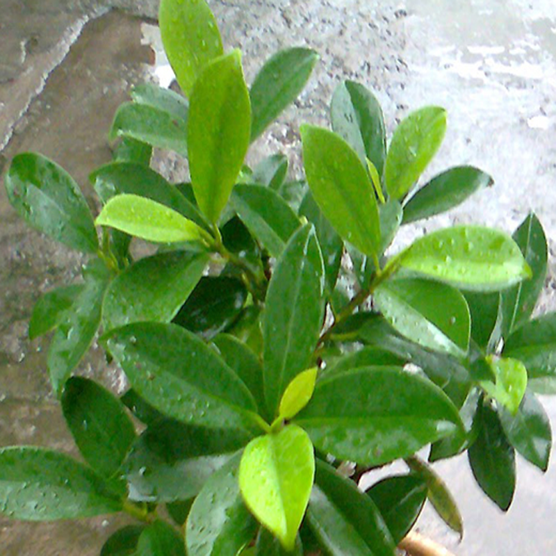 Ficus Panda -Ornamental Shrubs
