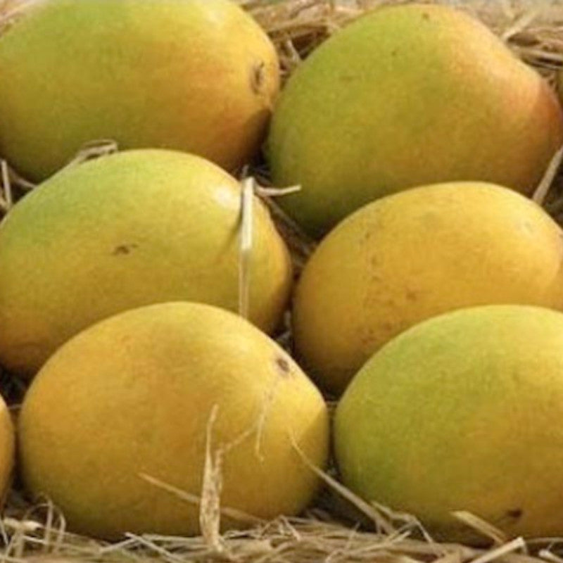 Mango Sugar Candy(Grafted) - Fruit Plants & Tree