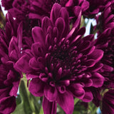 Chrysanthemum Dark Purple - SEASONALS