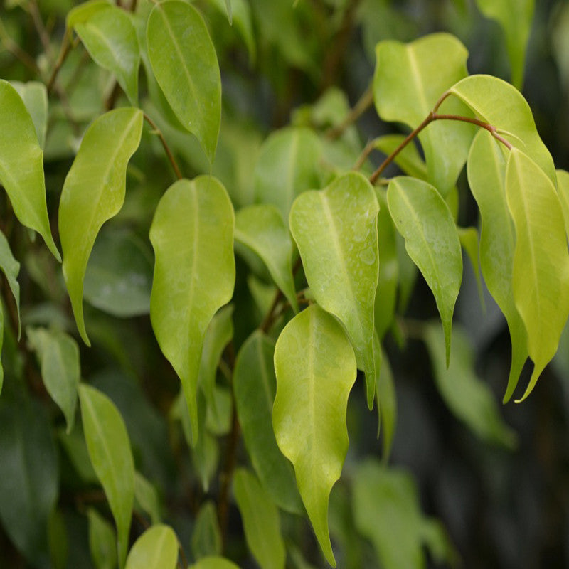 Ficus Benjamina Gold - Ornamental Shrubs