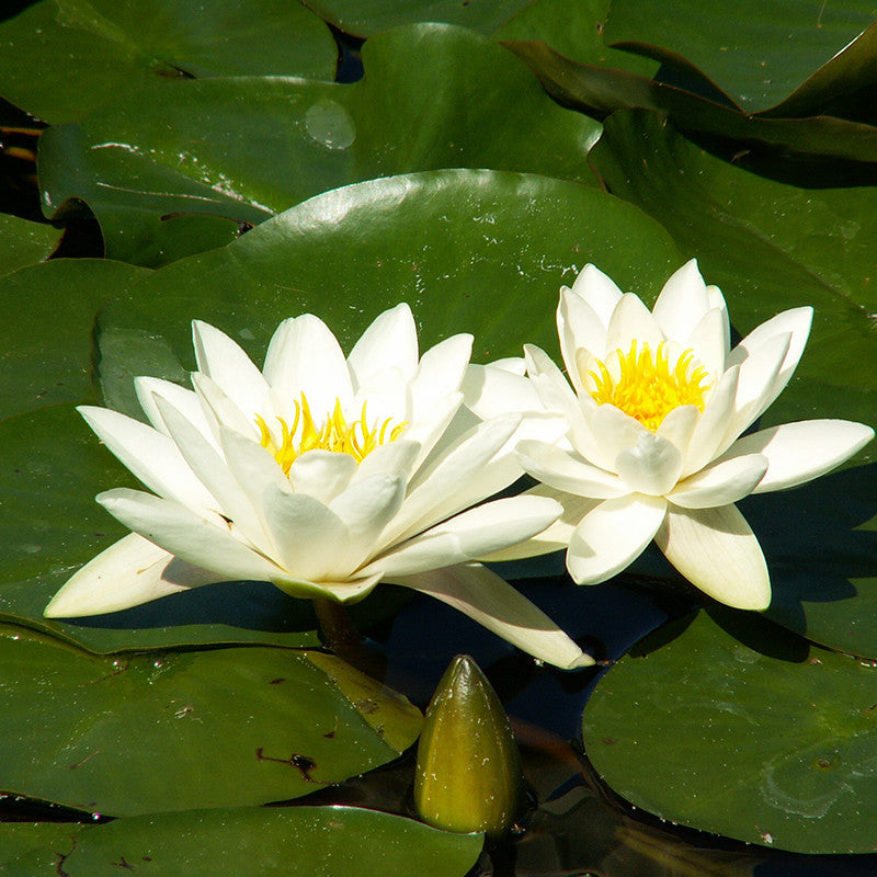 Kamal Water Lily Star White - Aquatic Plants