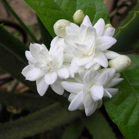 Jasmine Mini/Mogra - Flowering Shrubs