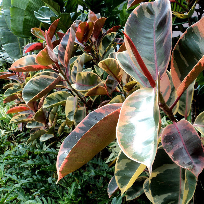 Ficus Elastica Red - Ornamental Shrubs - Exotic Flora
