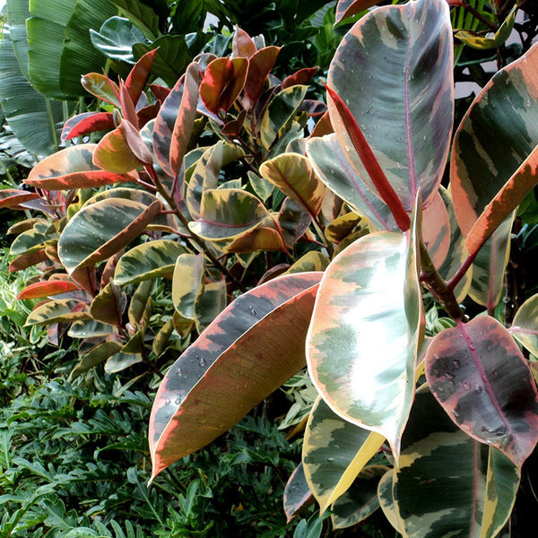 Ficus Elastica Red - Ornamental Shrubs – Exotic Space