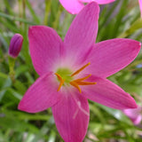 Rain lily Pink- Flowering Plants