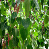 Ficus Religiosa/Peepal Tree - Avenue Trees