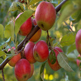 Apple Red (Grafted) - Fruit Plants & Tree