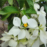 Mussaenda White-Flowering Shrubs