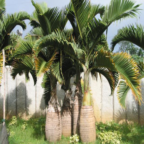 Champion Bottle Palm - Palms