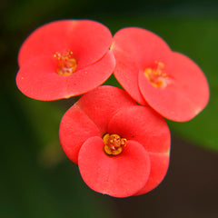 Euphorbia milii/Crown Of Thorns New Hybrids Red- Cacti & Succulant - Exotic Flora