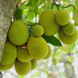 Jack fruit-Gumless Panasa(Grafted) - Fruit Plants & Tree