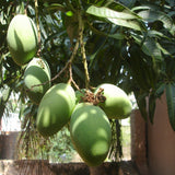 Mango Kothapalli kobbari(Grafted)- Fruit Plants & Tree