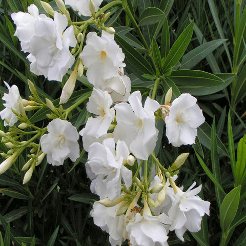 Nerium White Double - Flowering Shrubs