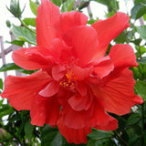 Hibiscus Red DOUBLE - Flowering Shrubs