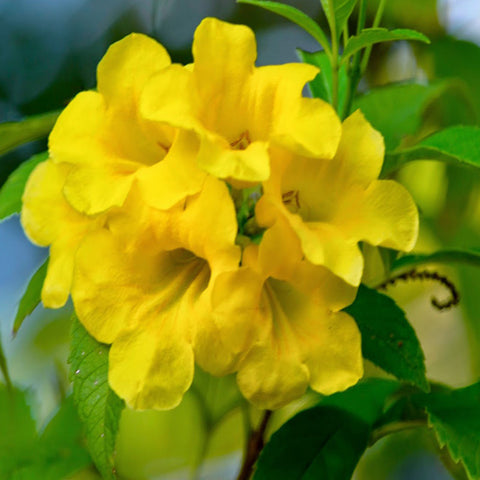 Tecoma gaudichaudi/Yellow Bells- Flowering Shrubs