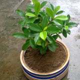 Ficus Panda -Ornamental Shrubs - Exotic Flora