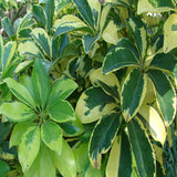 Schefflera Arboricola Variegated - Ornamental Shrubs