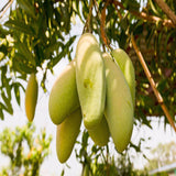 Totapuri  Mango(Grafted) - Fruit Plants & Tree