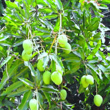 Mango Chinna Rasam  (Grafted)- Big Size Plants