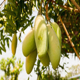 Totapuri  Mango (Grafted) - Big Size Plants