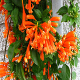 Flaming Trumpet - Creepers & Climbers