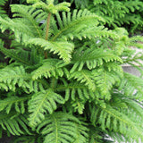 Christmas tree /Araucaria  - Avenue Trees - Exotic Flora