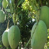 Mango Mallika (Grafted)- Big Size Plants