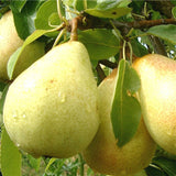 Babugosha/Indian Pear - Fruit Plants & Tree