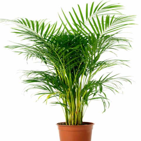Arcea Palm - Indoor Air-Purifying