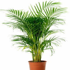 Arcea Palm - Indoor Air-Purifying - Exotic Flora