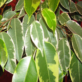 Ficus Bushy King- Ornamental Shrubs