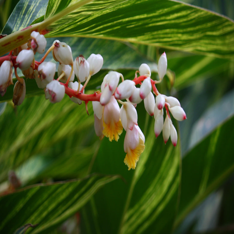 Alpinia Zurumbet - Ornamental Shrubs - Exotic Flora