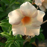 Allamanda biscuit - Flowering Shrubs - Exotic Flora