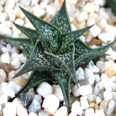 Aloe Descoingsii -Gift Plants - Exotic Flora