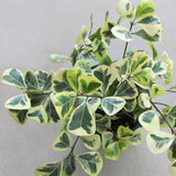 Ficus Triangularis variegata -Ornamental Shrubs
