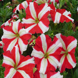 Petunia Red and White - SEASONALS