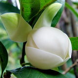Magnolia  Dwarf  Coco - Flowering Shrubs