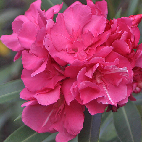 Nerium Red Double - Flowering Shrubs