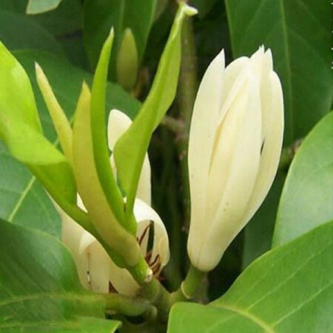 White Champa  (Grafted) - Top Perfuming/Fragrant Plants