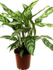 Aglaonema Malay Beauty - Indoor Plants - Exotic Flora