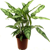 Aglaonema Malay Beauty - Indoor Plants